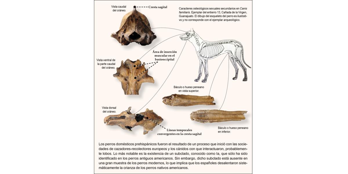 Domesticación y rasgos genéticos del perro