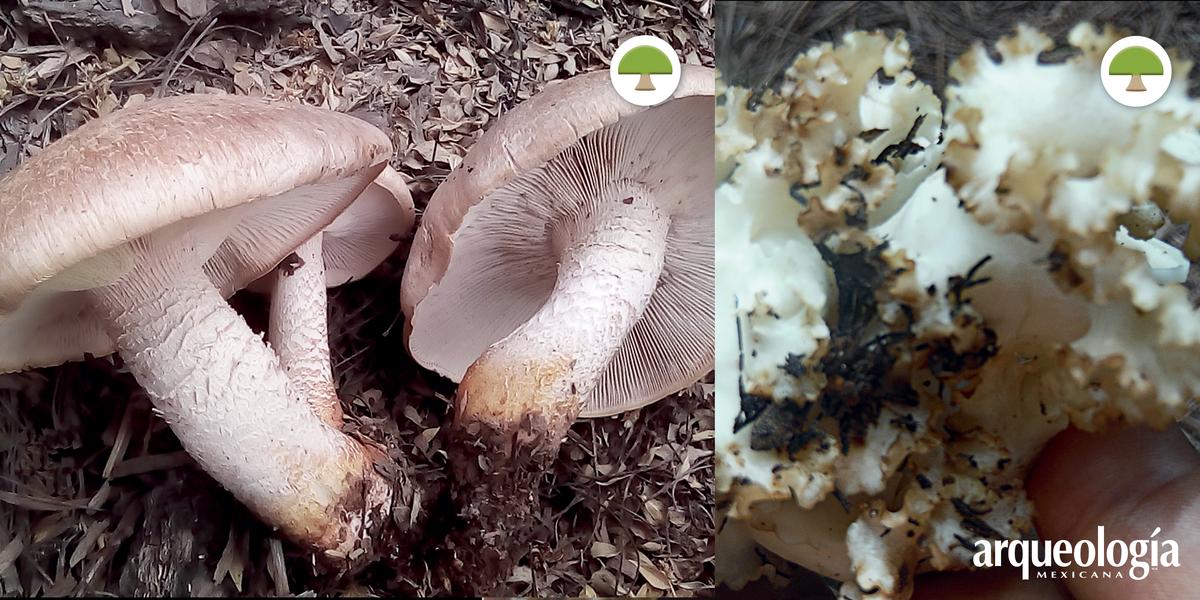 Los hongos en Oaxaca