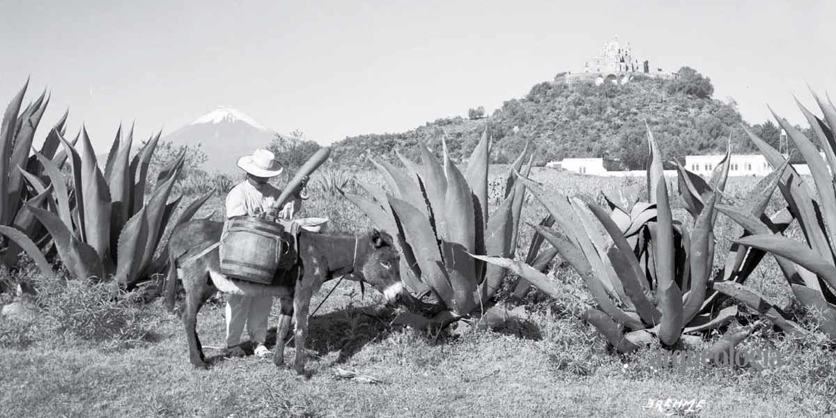 Los magueyes mexicanos