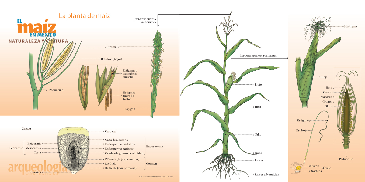 Filogenia de las razas de maíz