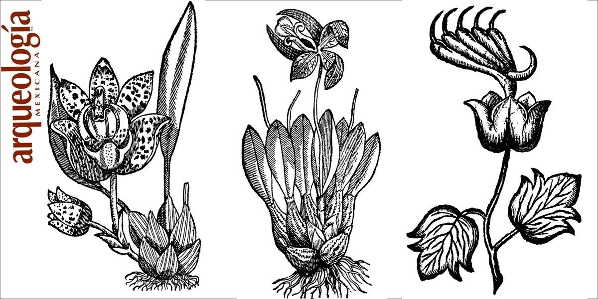 Las plantas ornamentales en la obra de francisco hern ndez for Caracteristicas de las plantas ornamentales