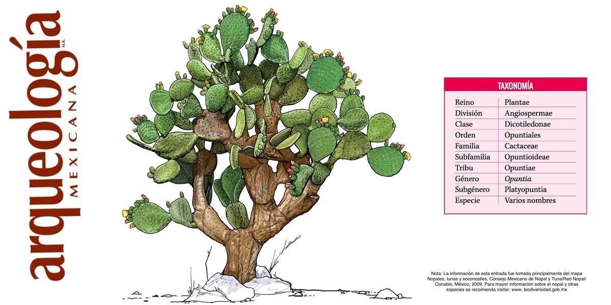 Las partes del nopal arqueolog a mexicana - Informacion sobre los cactus ...