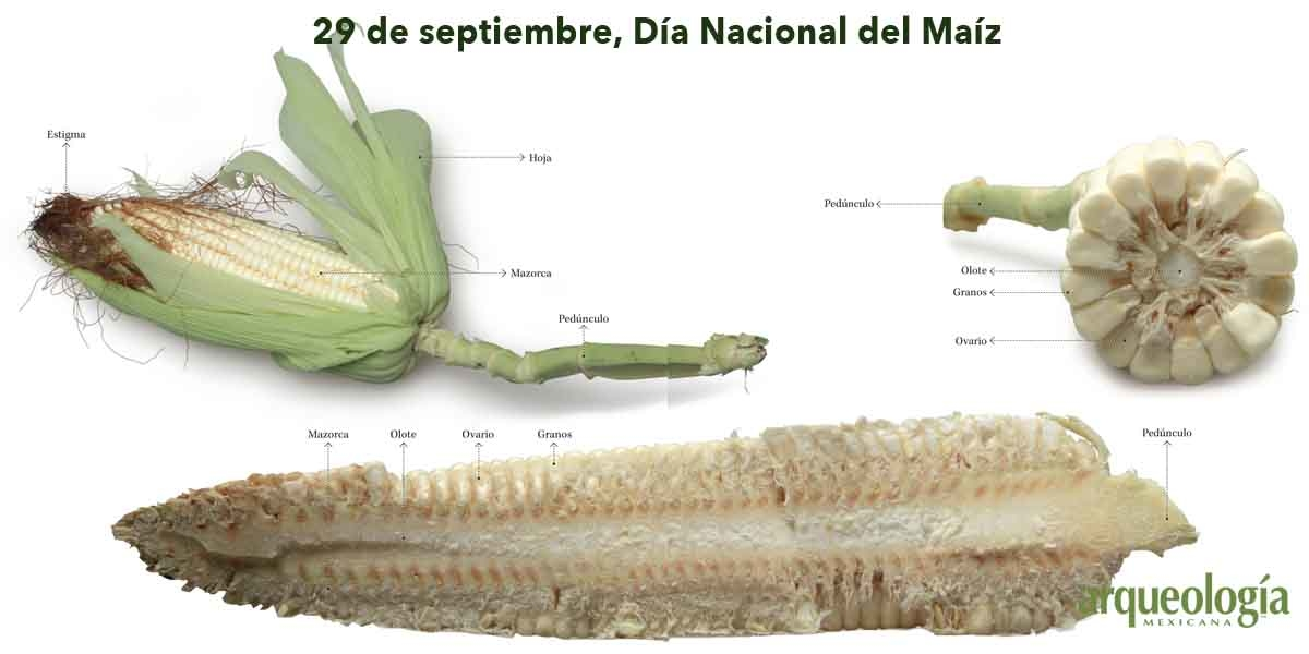 Antigüedad del maíz mexicano