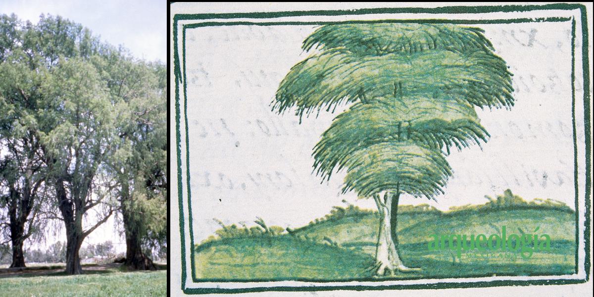 El ahuehuete, árbol ritual prehispánico