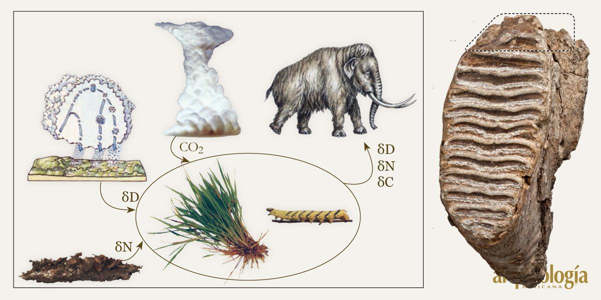 Dieta y hábitat del mamut en México