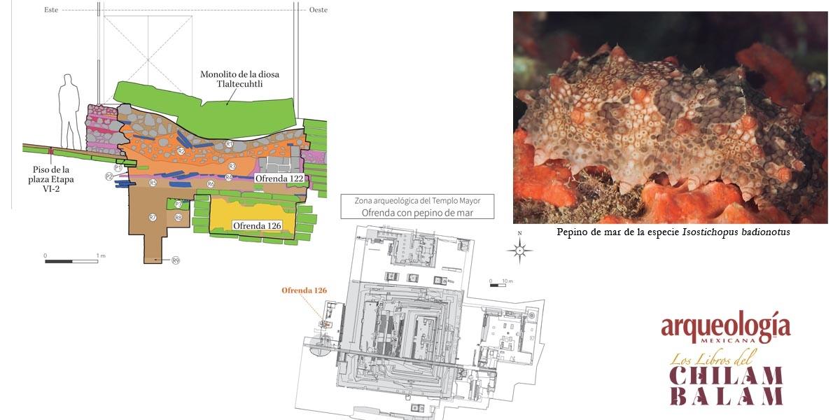Pepinos de mar en las ofrendas de Tenochtitlan