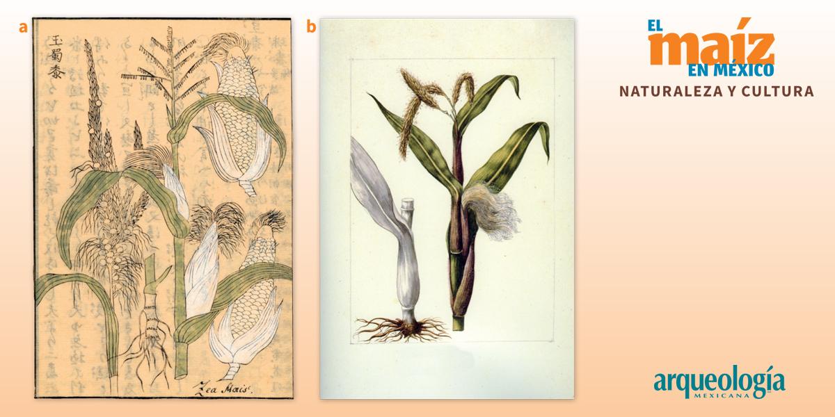 Taxonomía y botánica del maíz