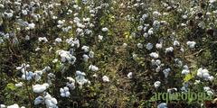 Algodón (Gossypium hirsutum L.)