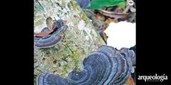 Los hongos y los lacandones