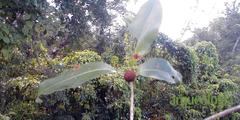 Frutos: mamey, Guayaba, Chicozapote