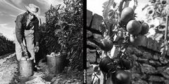 Jitomate (Solanum lycopersicum)