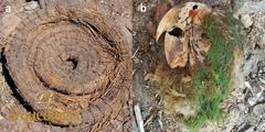La guacamaya momificada  de Cueva de Avendaños,  Chihuahua