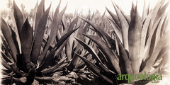 Maguey (Agave spp.)