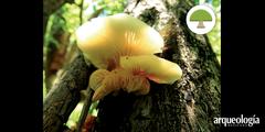 Los hongos en la cultura wixárika