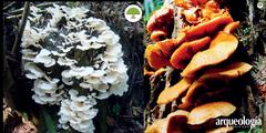 Los hongos de los totonacos en Zongozotla, Puebla