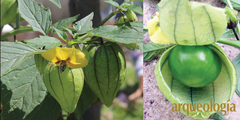 Tomate (Physalis philadelphica)