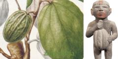 La planta de cacao