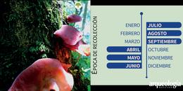 Los nombres de los hongos de los totonacos de Zongozotla, Puebla