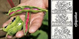 Frijol (Phaseolus spp.)