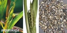 Azúcar, alcohol y la domesticación del maíz