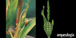 Teocintle (Zea mays L. ssp. Parviglumis)