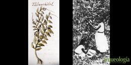 Vainilla (Vanilla planifolia)